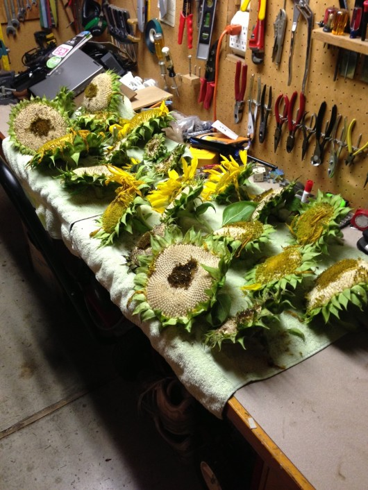 Sunflower noggins drying in the garage. 10 were left outside for squirrels
